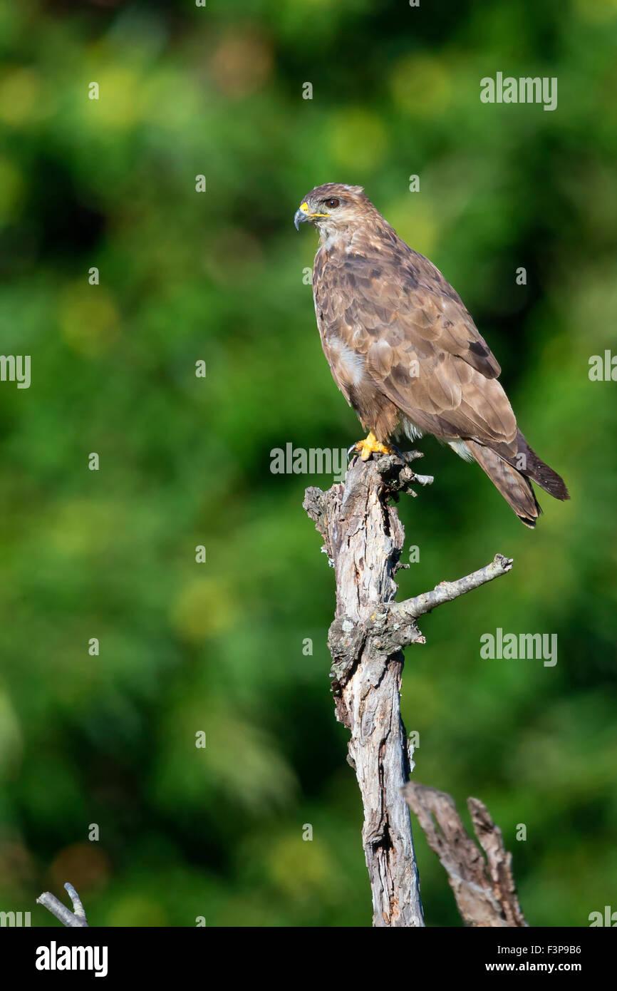 Common Buzzard, Perched on a branch, Campania, Italy (Buteo buteo) - Stock Image