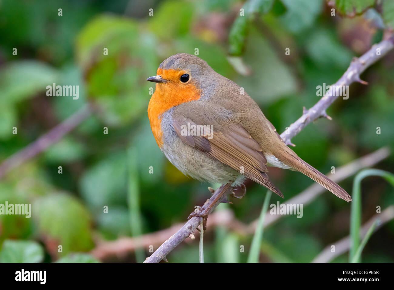 European Robin, perched on a branch, Campania, Italy (Erithacus rubecula) - Stock Image