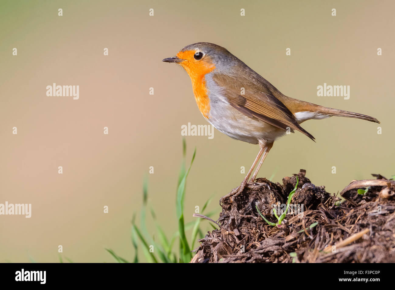 European Robin, adult perched, Campania, Italy (Erithacus rubecula) - Stock Image