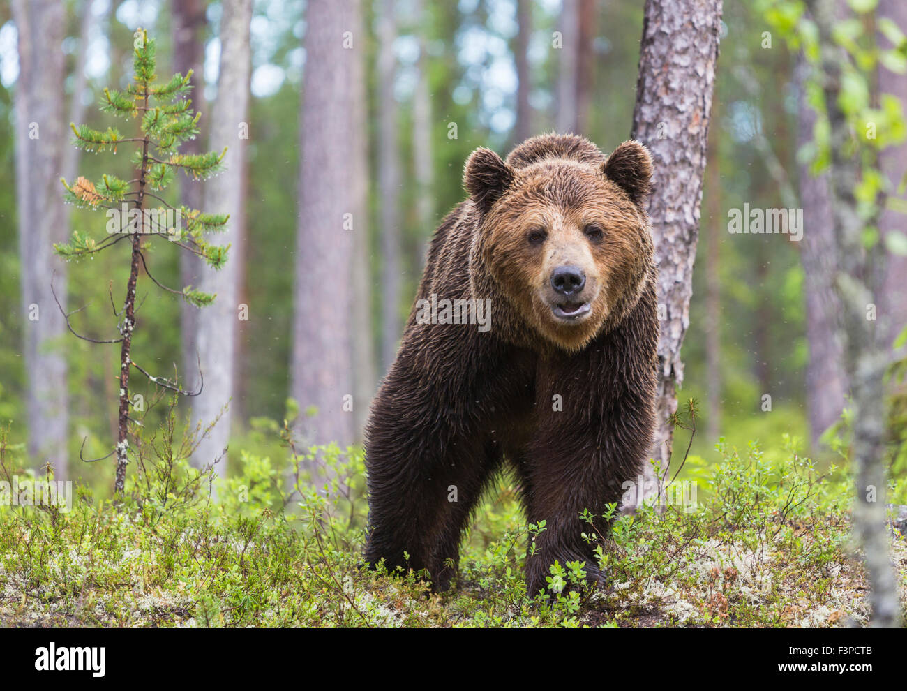 Close up photo of  Brown bear, Ursus arctos, walking in deep forest,looking in to camera, Kuhmo, Finland Stock Photo