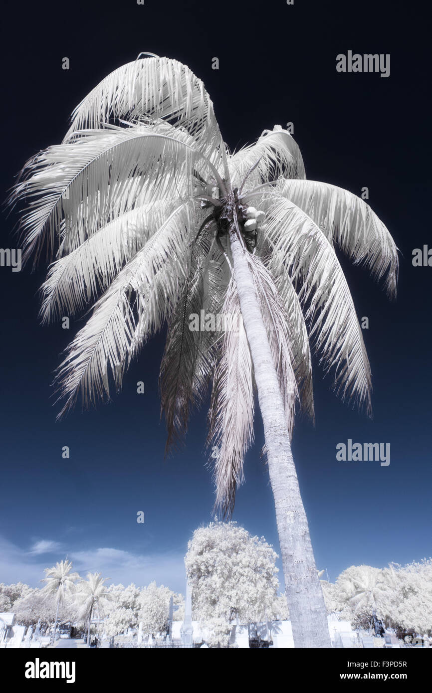 Palm tree in Key West Florida photographed in infra red - Stock Image