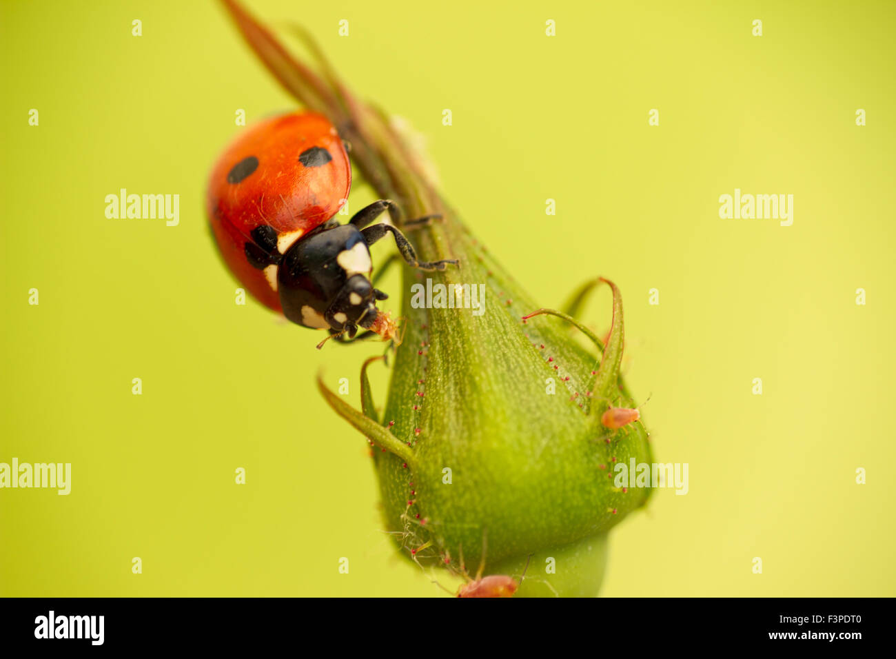 Ladybug attack aphids - Stock Image