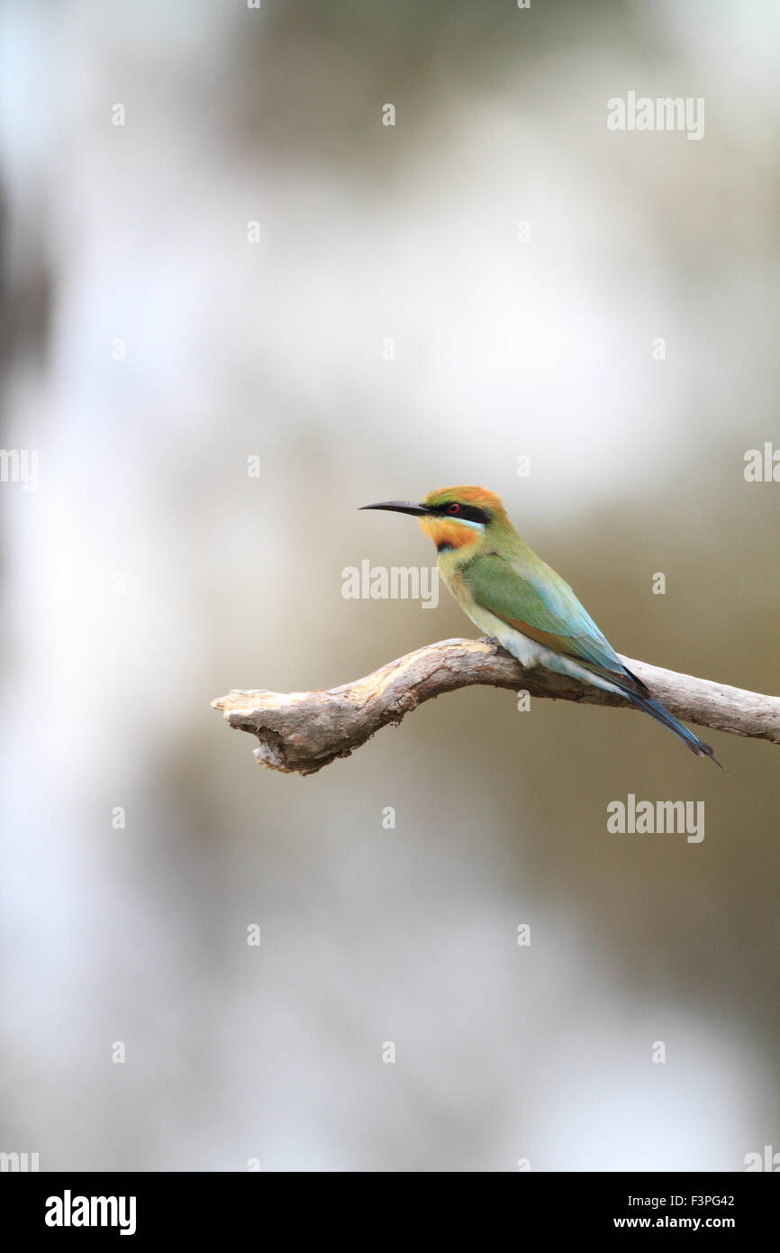 Rainbow Bee-eater (Merops ornatus) in Australia - Stock Image