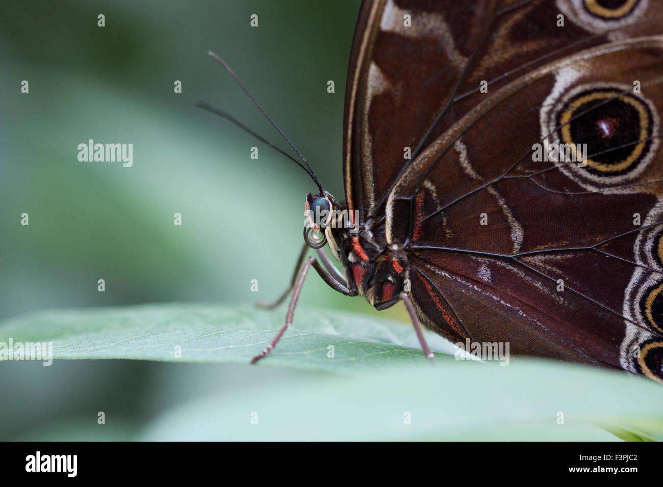 Owl Butterfly (Caligo memnon). - Stock Image