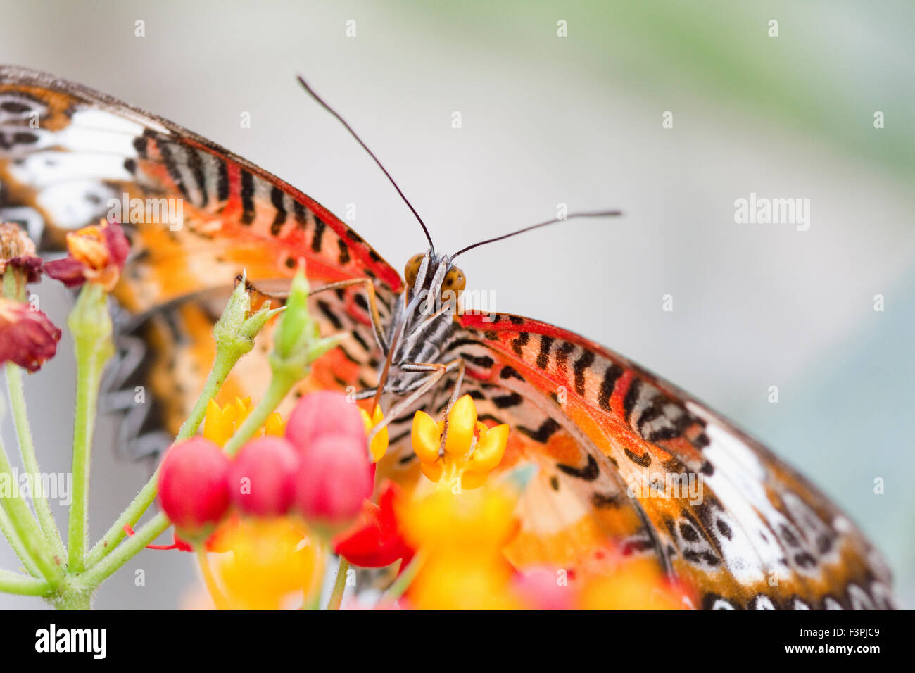 Butterfly macro (species unknown, sorry!) - Stock Image