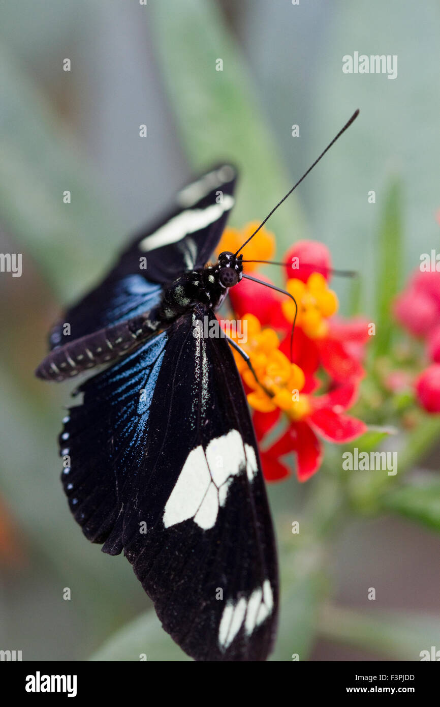A Great Eggfly Butterfly (Hypolimnas bolina) feeding on a plant - Stock Image
