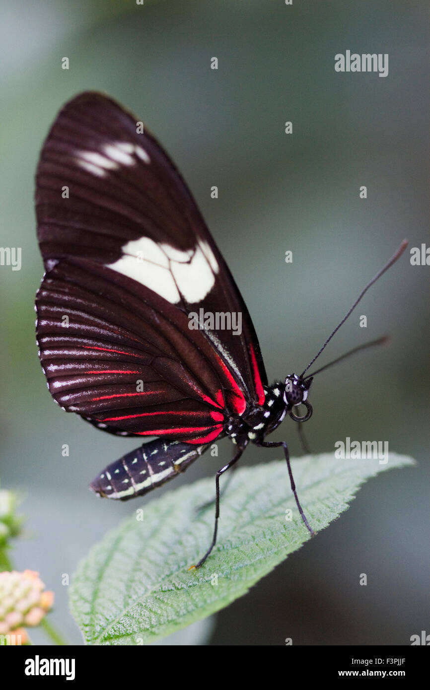 Red Postman Butterfly (Heliconius erato) standing on a single leaf. - Stock Image