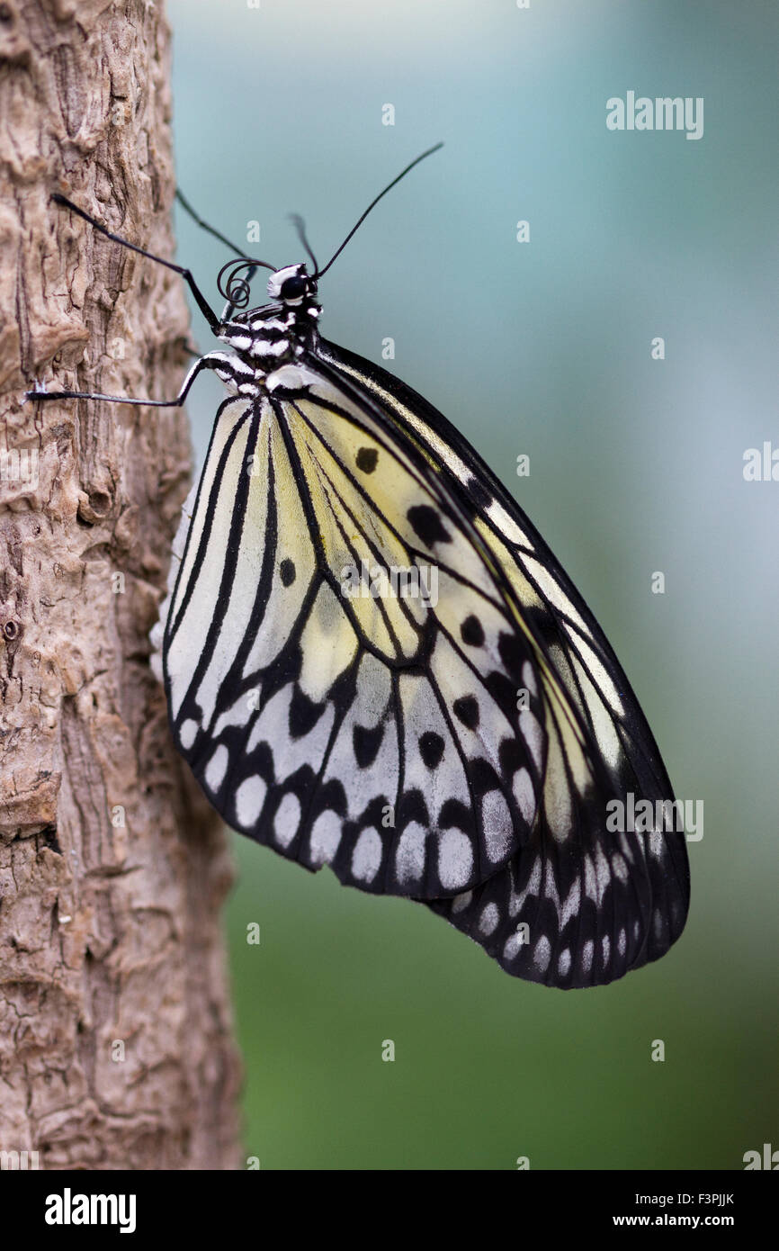 Tree Nymph Butterfly (Idea Leuconoe) holding on to a piece of tree bark. - Stock Image