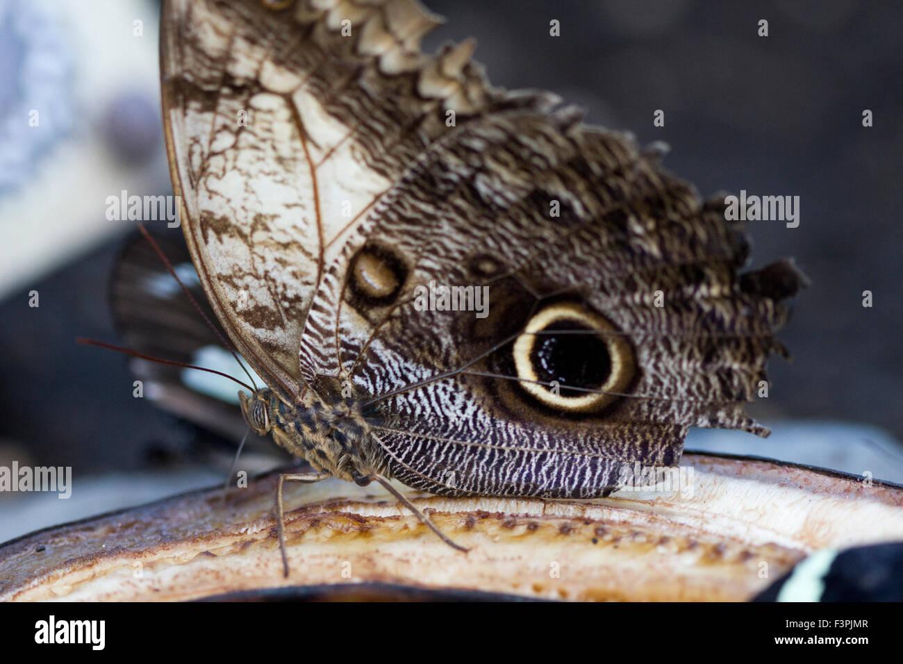 An Owl Butterfly (Caligo memnon) feeding. - Stock Image