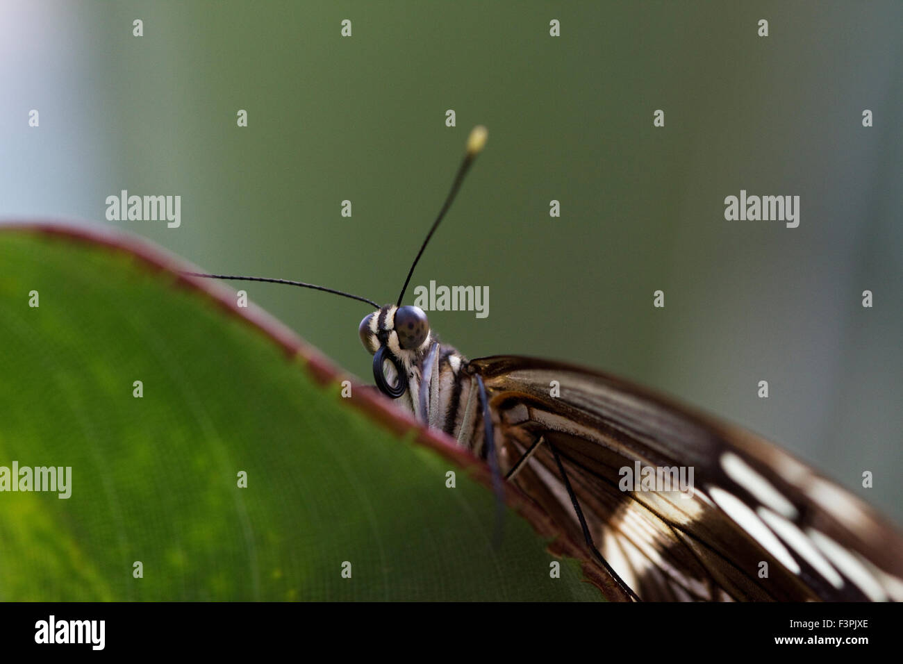 Common Sergeant Butterfly (Athyma perius) - Stock Image