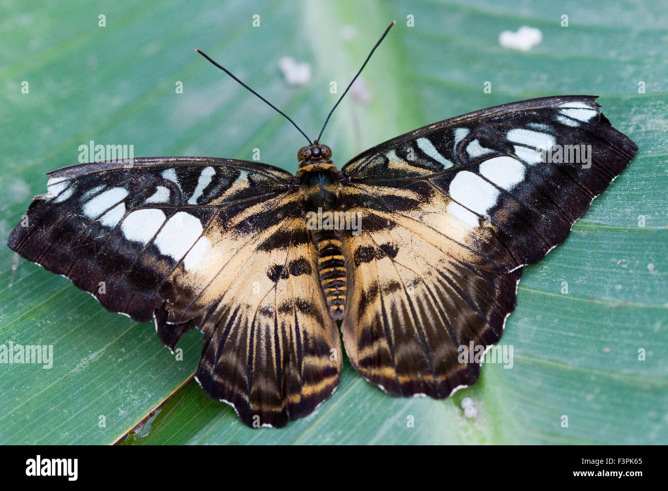 Clipper Butterfly (Parthenos Sylvia) - Stock Image