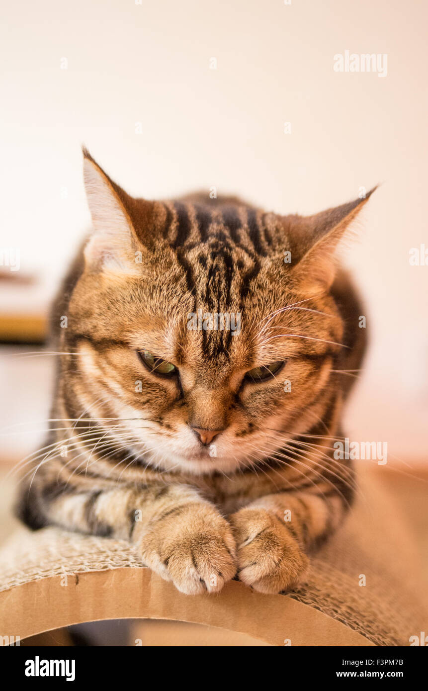 Cat resting at Happy Neko Cat Cafe in Shibuya, Tokyo, Japan Stock Photo