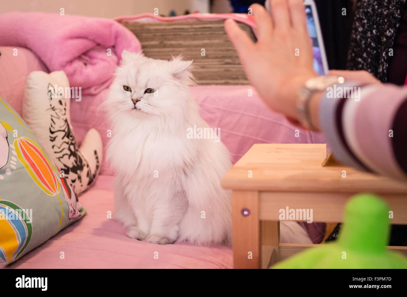 Cat posing at Happy Neko Cat Cafe in Shibuya, Tokyo, Japan Stock Photo