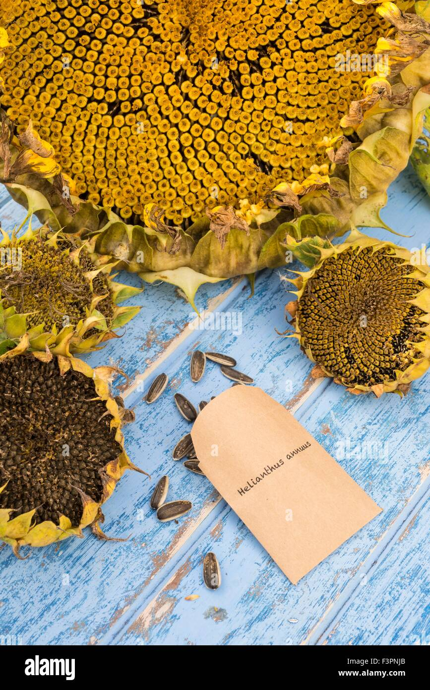 Saving and storing of sunflower seeds. - Stock Image