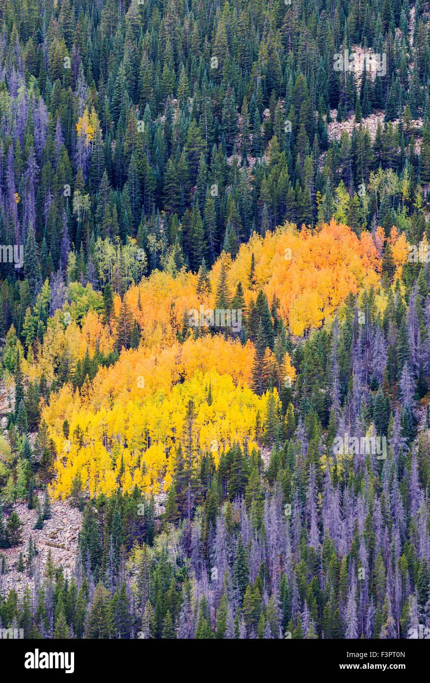 Aspen leaves in fall color foliage; Trail Ridge Road; Rocky Mountain National Park; Colorado; USA - Stock Image