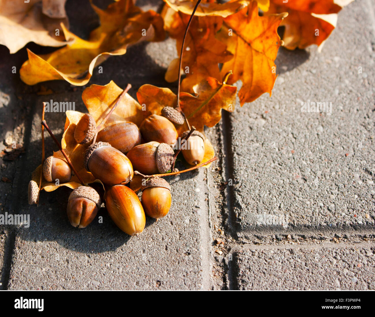 brown acorns lying on the oak leaves on autumn day closeup - Stock Image