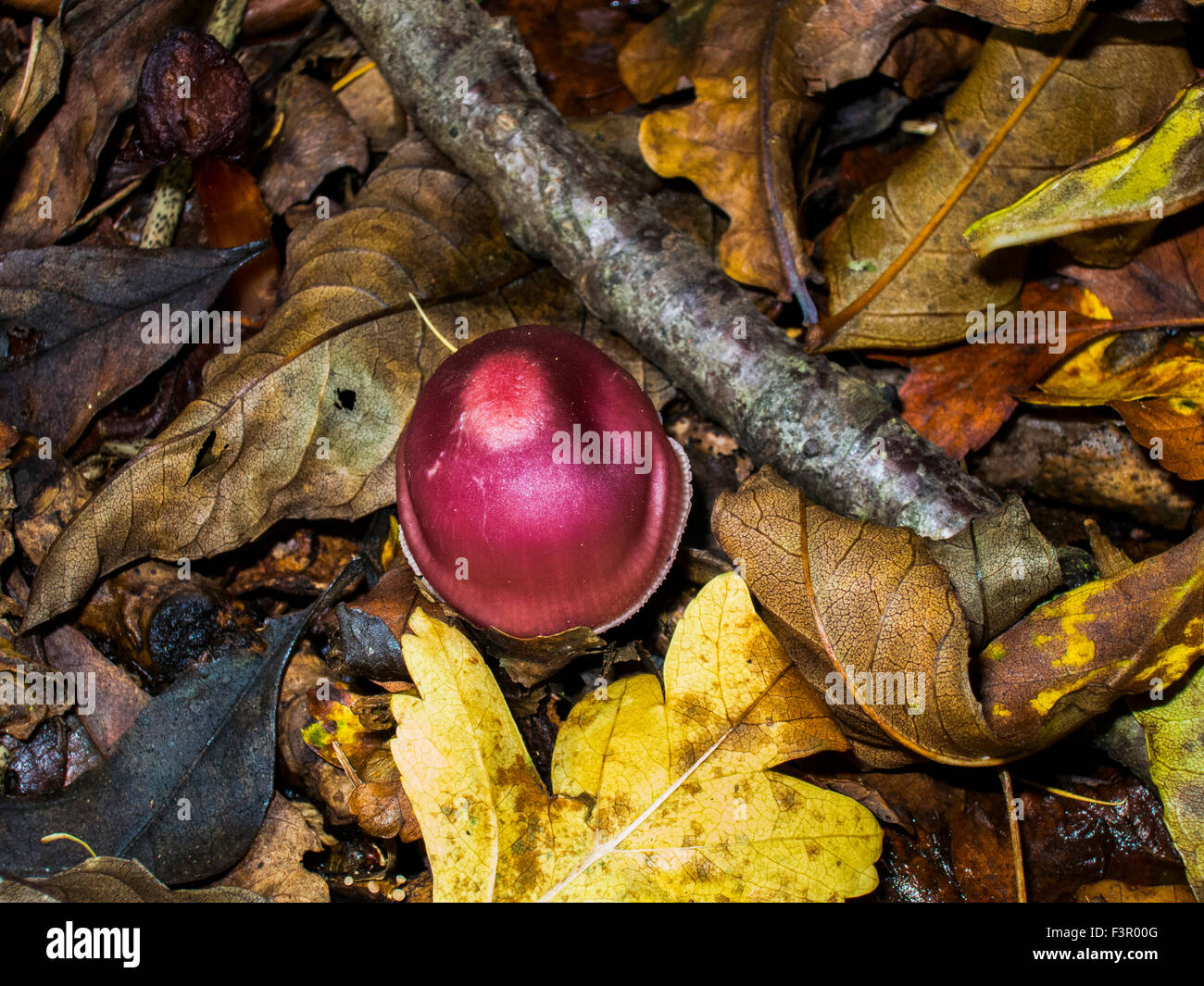 Fungus grown in Briton in damp cold forest - Stock Image