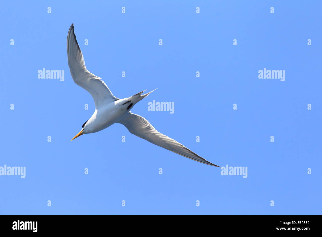 Greater Crested Tern (Sterna bergii) flying in Australia Stock Photo