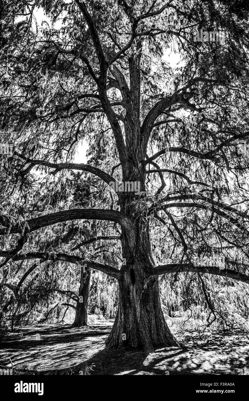 A large tree seeming to want to grow out of the frame, Huntington Library. - Stock Image