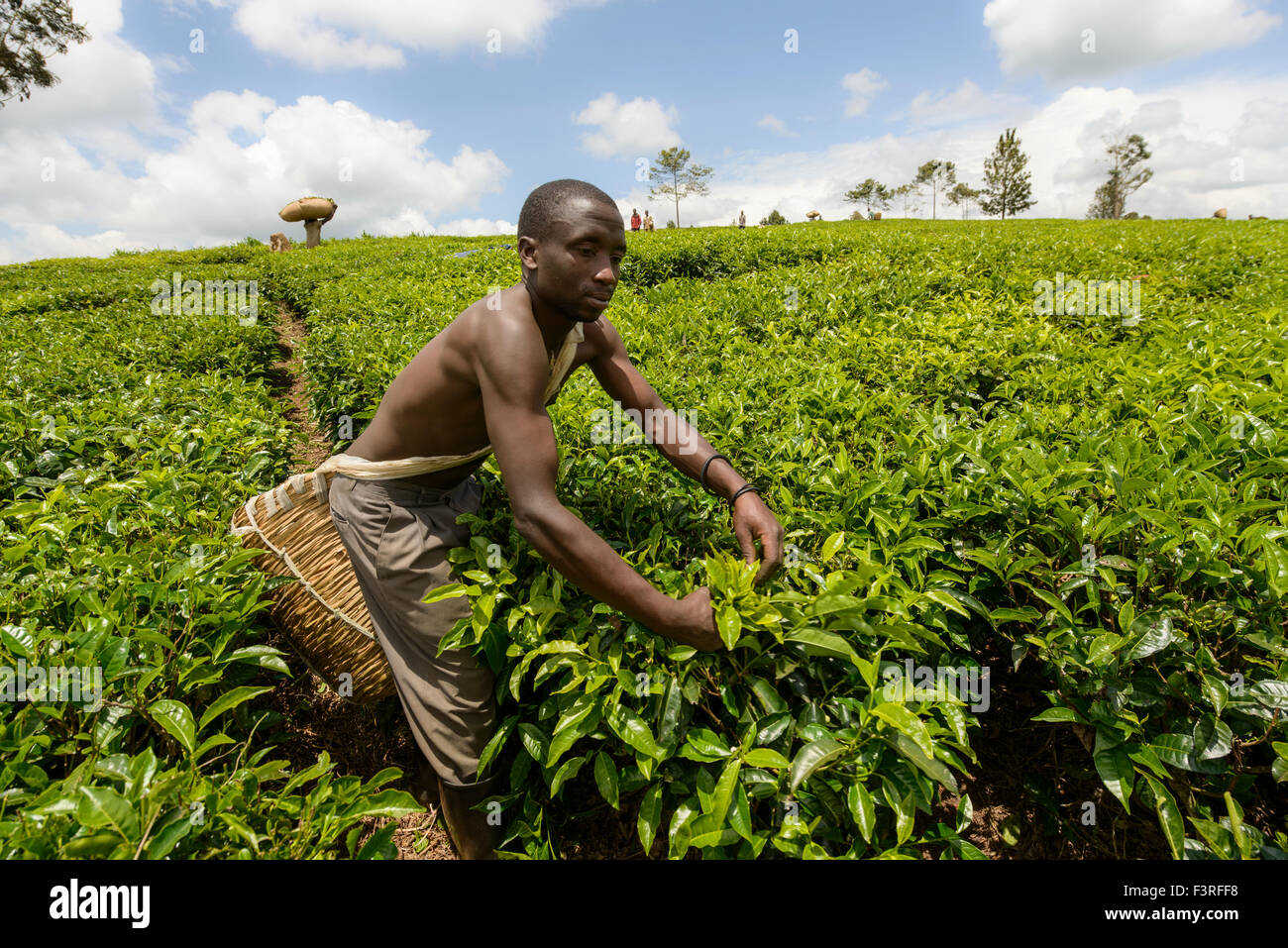 Tea collectors in Uganda, Africa - Stock Image