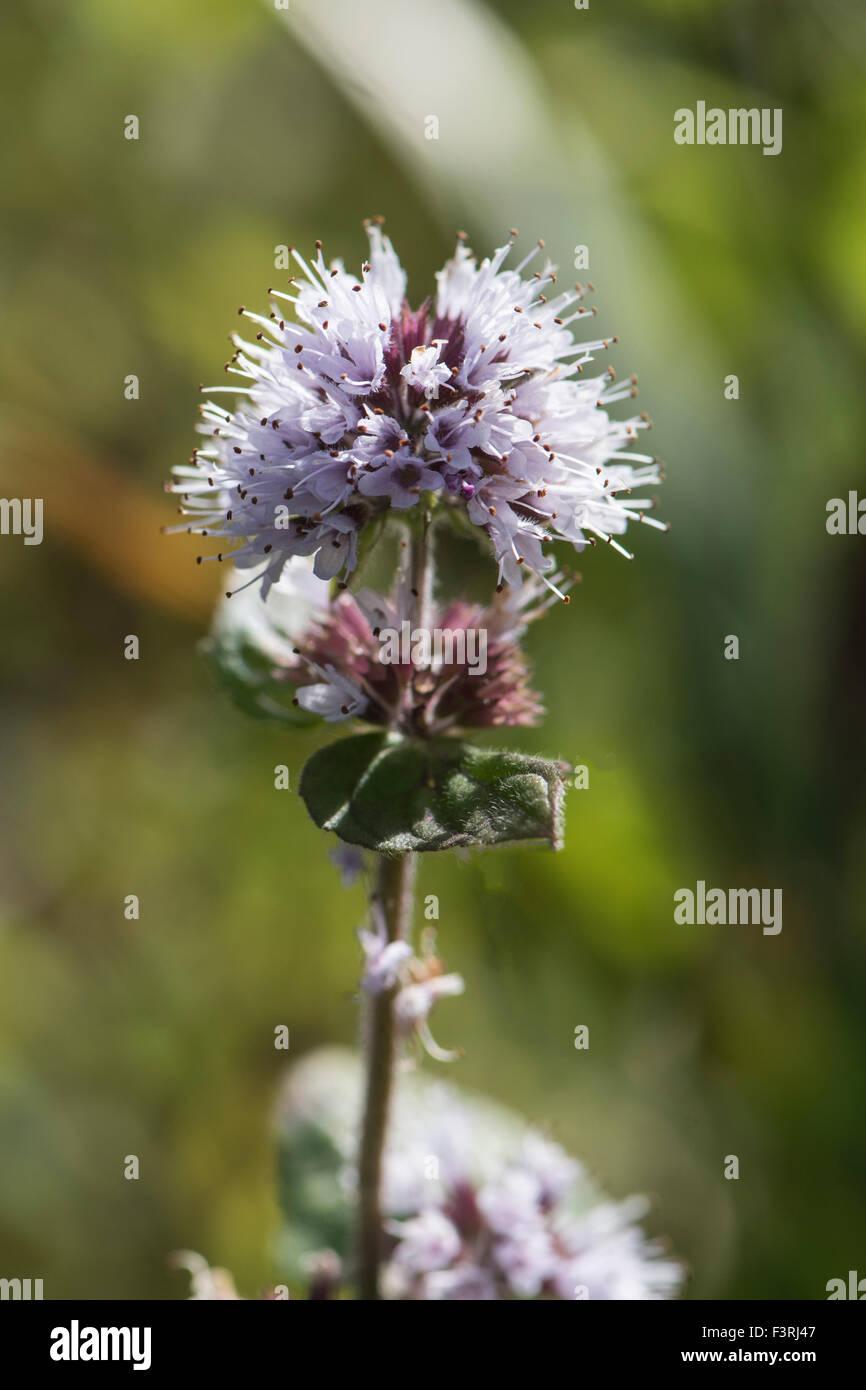 Mentha aquatica, Water Mint, growing in wetlands, Surrey, UK. July. Stock Photo