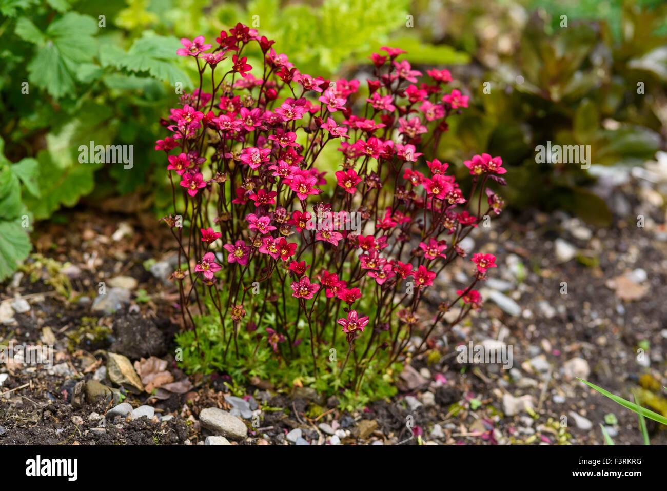 Saxifraga Highlander, garden flower - Stock Image