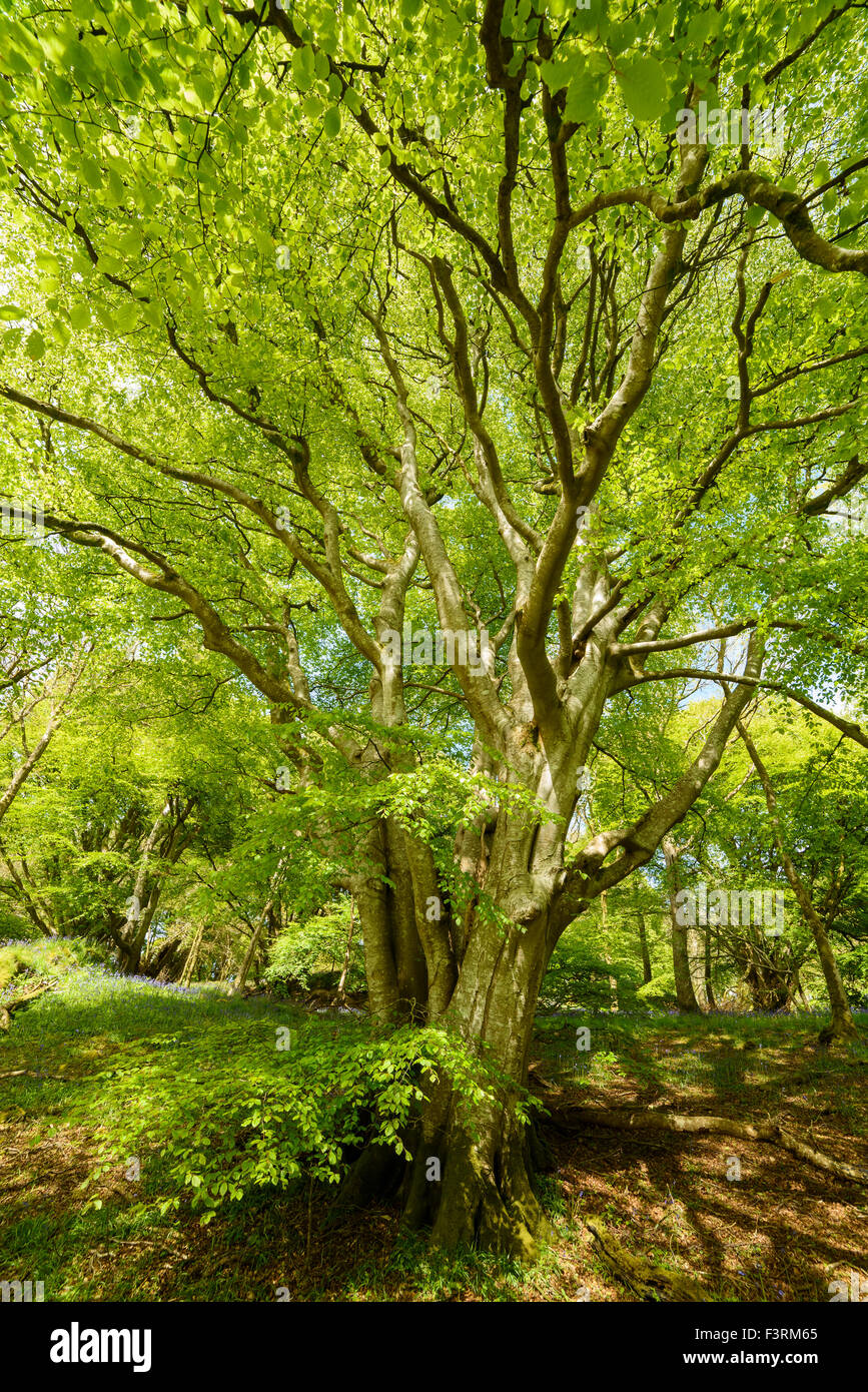 Beech tree, Fagus sylvatica, Carstramon Wood, Dumfries & Galloway, Scotland - Stock Image