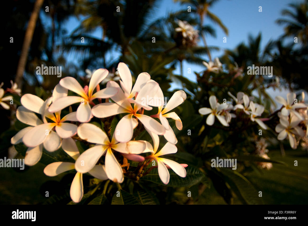 Flower maui nobody stock photos flower maui nobody stock images plumera the most famous flowers of hawaii plumeria common name frangipani is a izmirmasajfo