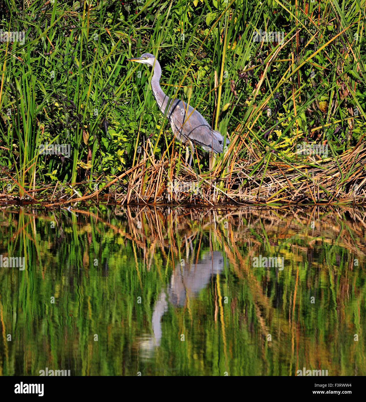 A Grey Heron perched on a riverbank (Ardea Cinerea) - Stock Image