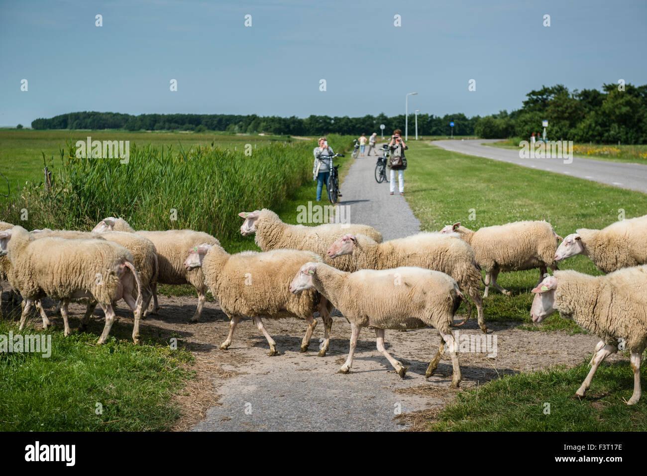 3 July, 2014  In de polder ten zuiden van Hoorn.  At reclaimed land south of the village of Hoorn.  Sheep crossing - Stock Image