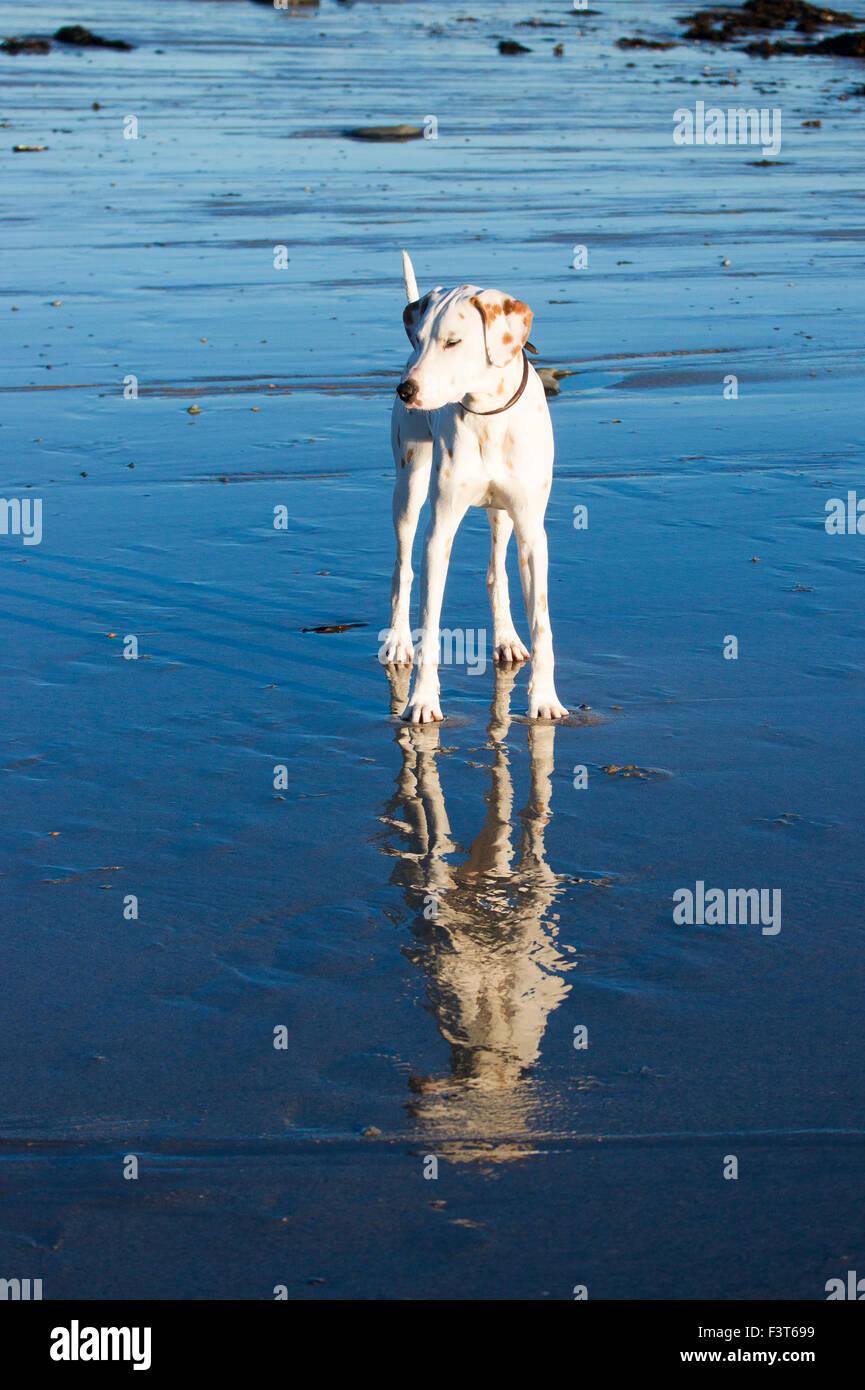 A reflected Dalmatian. - Stock Image