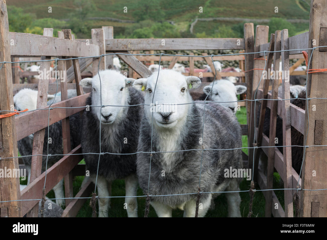 Herdwick ewes in a pen at Wasdale Shepherds Meet, Cumbria. Stock Photo