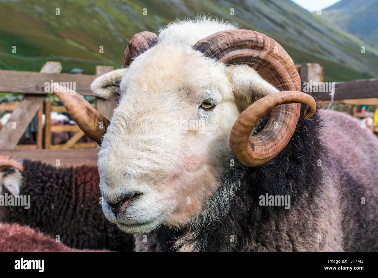 Herdwick ram at Wasdale Shepherds Meet, Cumbria. - Stock Image
