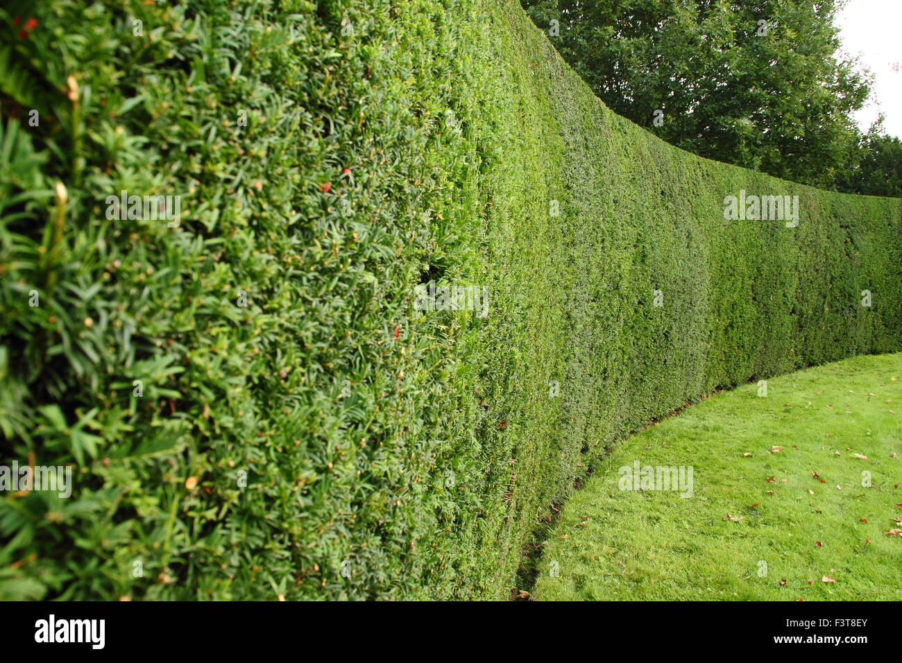 A neatly clipped yew tree hedge (taxus) frames a formal garden at Rufford Abbey, Nottinghamshire, England, UK - Stock Image