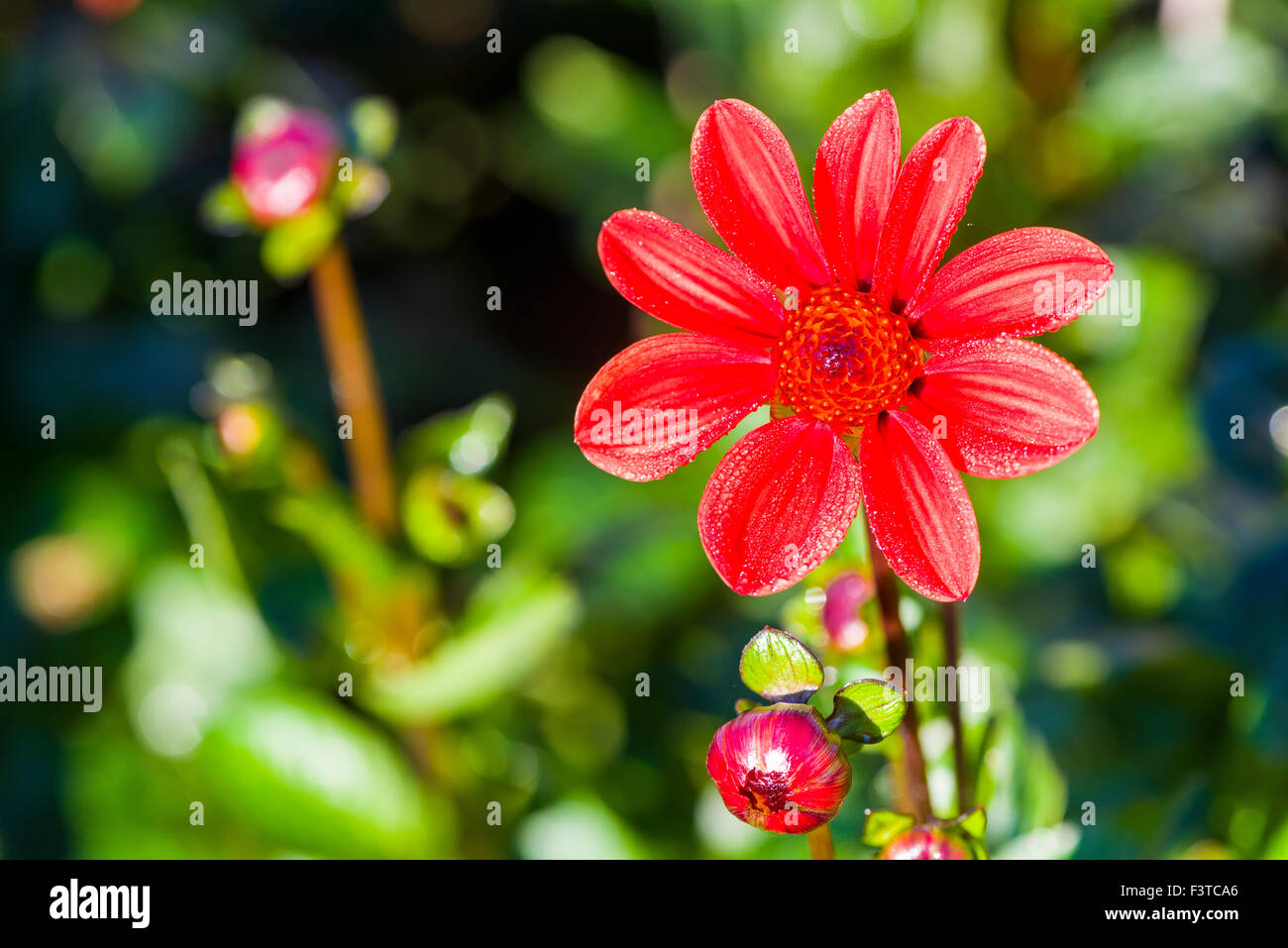 The flower in blossom of a dahlia named bali stock photo 88432350 the flower in blossom of a dahlia named bali izmirmasajfo
