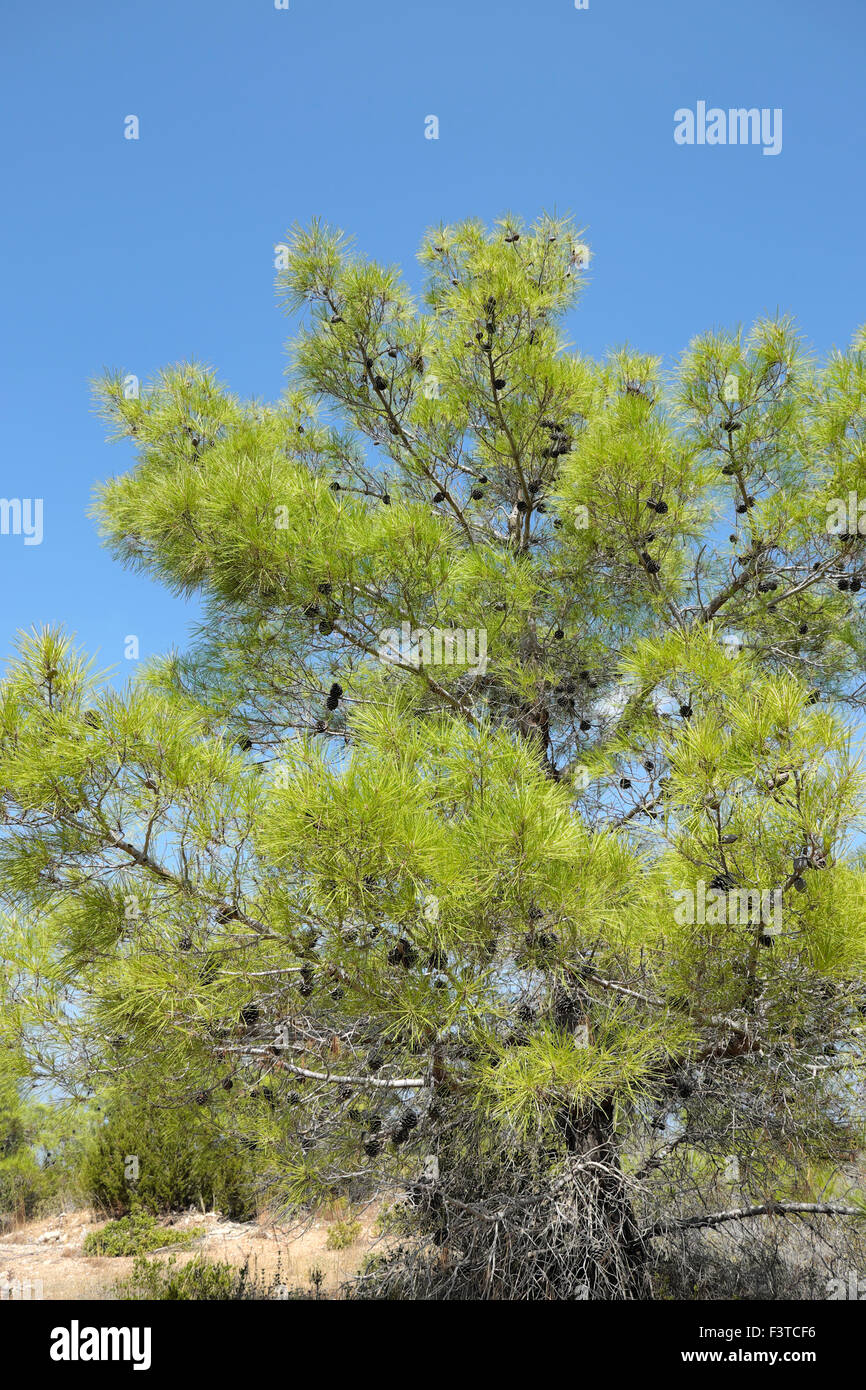 Pine Tree against blue sky in September autumn North Cyprus  KATHY DEWITT - Stock Image