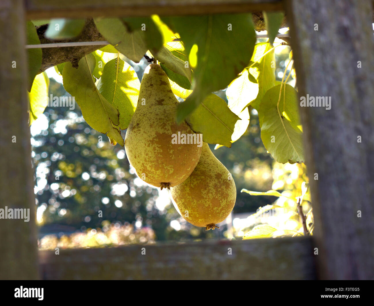 Espalier Conference Pears illuminated by late afternoon light in a kitchen garden - Stock Image
