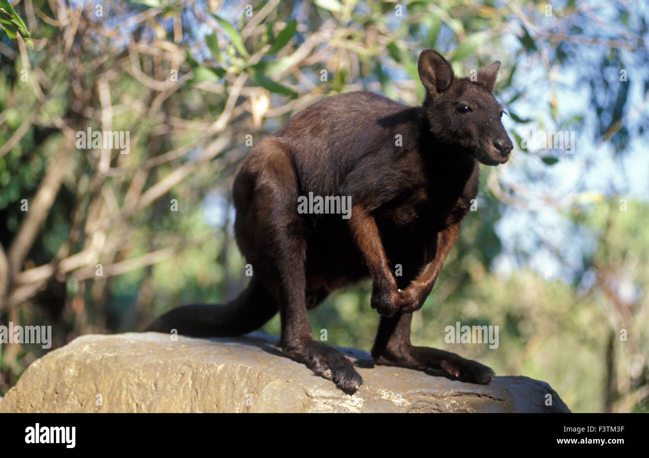 BLACK-FOOTED ROCK WALLABY (PETROGALE LATERALIS) NORTHERN TERRITORY, AUSTRALIA - Stock Image