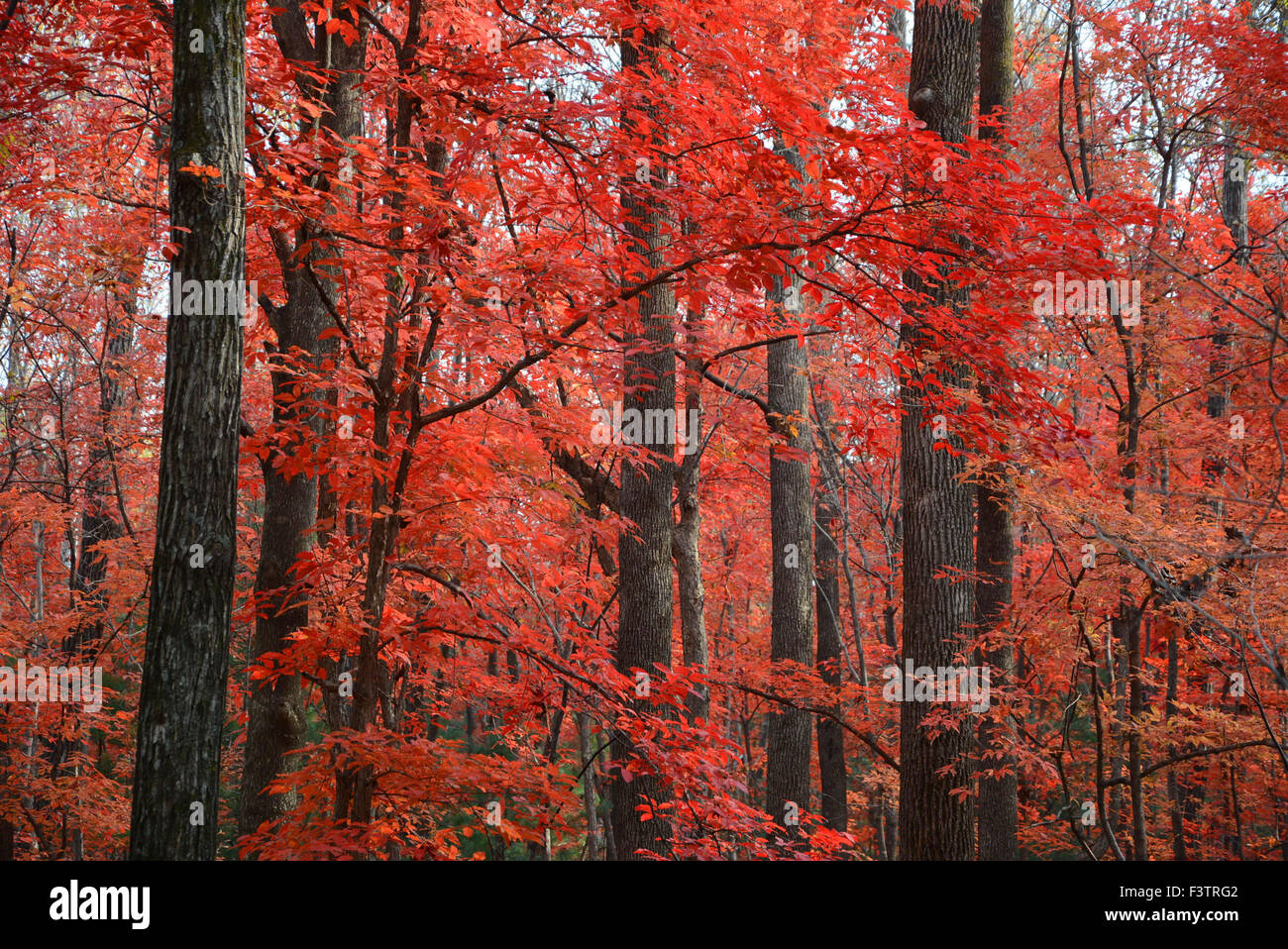 Beijing, China. 7th Oct, 2015. Photo taken on Oct. 7, 2015 shows the red autumnal leaves in Shulan City, northeast - Stock Image