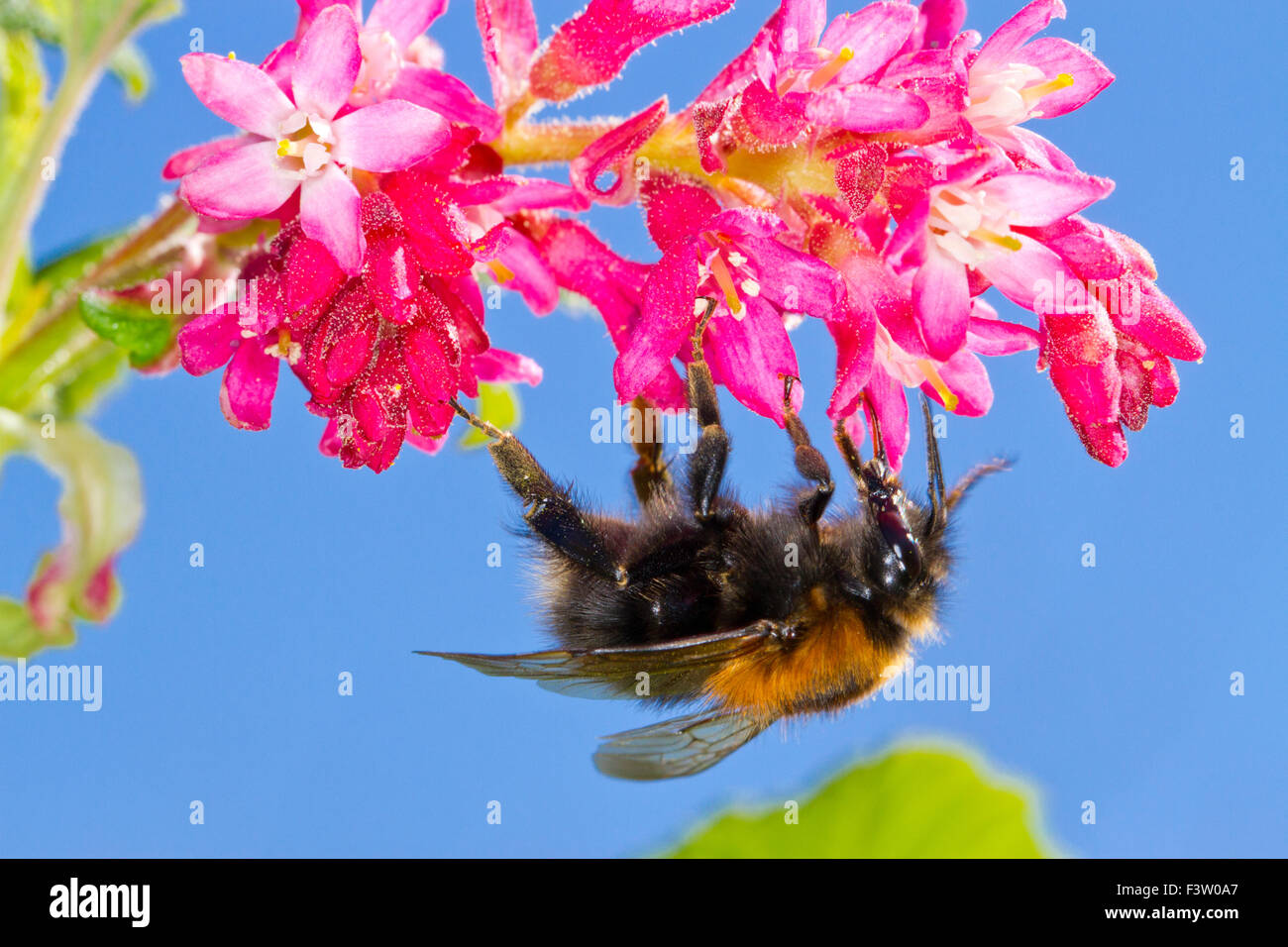 Tree Bumblebee (Bombus hypnorum) queen feeding on Red-flowering currant  (Ribes sanguineum) in a garden. Powys, - Stock Image