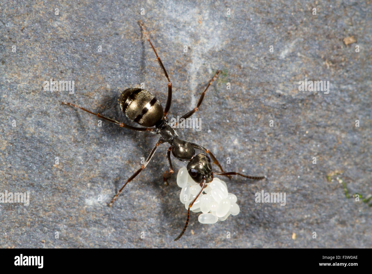 Negro Ant (Formica fusca) worker carrying a batch of eggs. Powys, Wales. April. Stock Photo