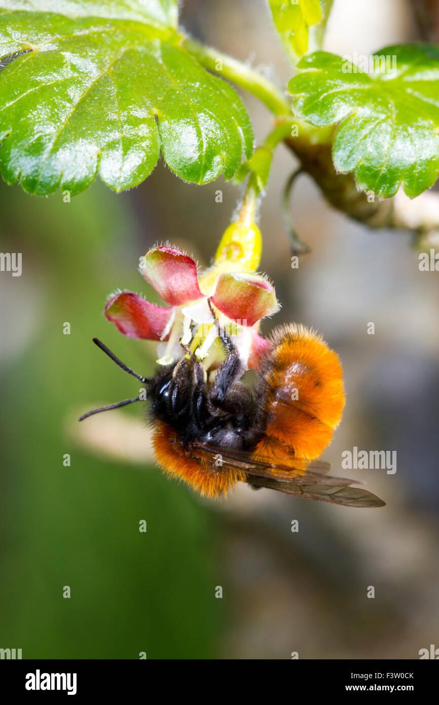 Tawny Mining Bee (Andrena fulva) female feeding on a Gooseberry (Ribes uva-crispa) flower in a garden. Powys, Wales. - Stock Image