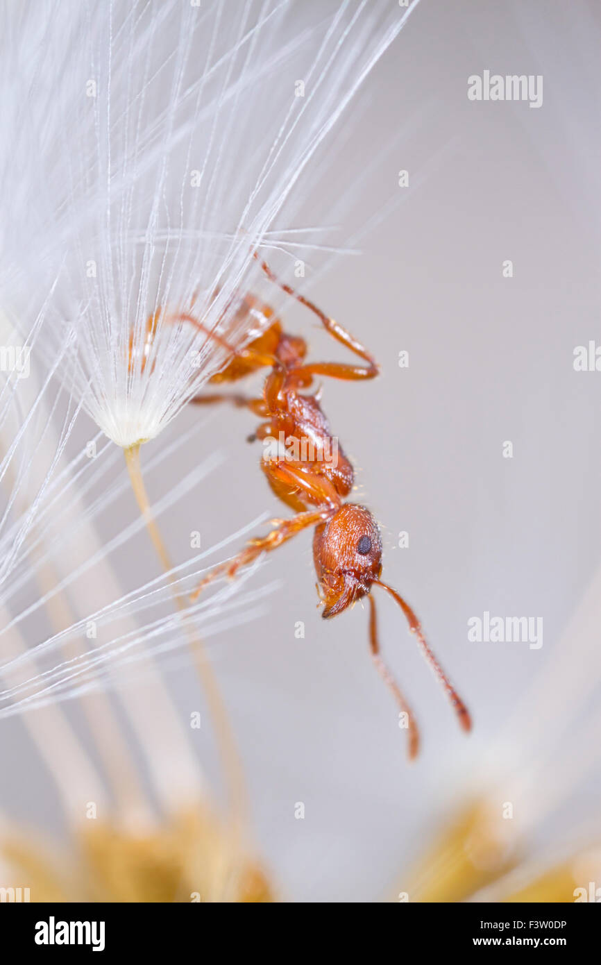 Red Ant (Myrmica rubra) adult worker in a dandelion clock. Powys, Wales. April. Stock Photo