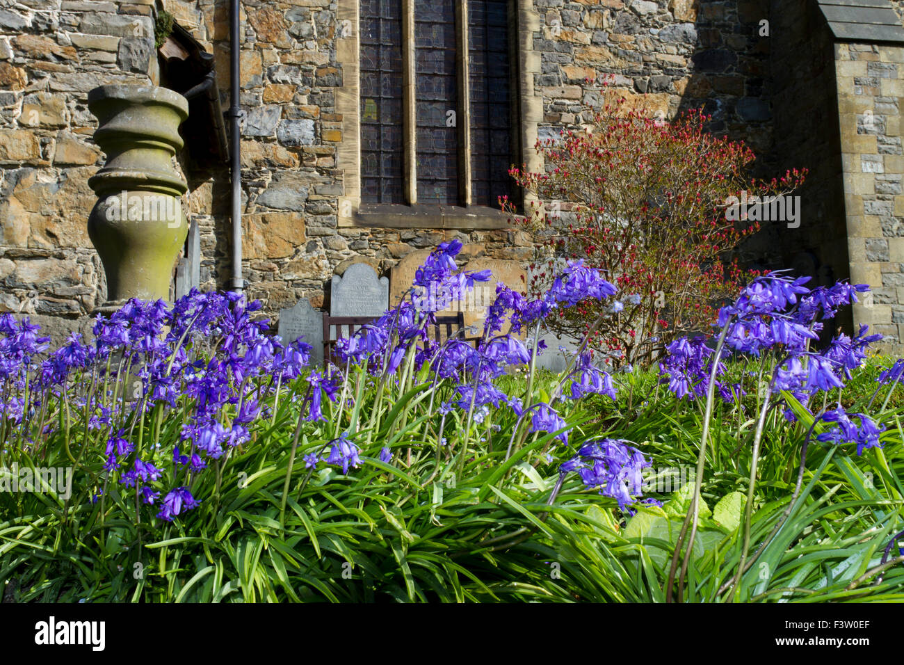 Hybrid bluebells, common X 'Spanish' bluebell (Hyacinthoides x massartiana) flowering in a churchyard. Llanidloes, - Stock Image