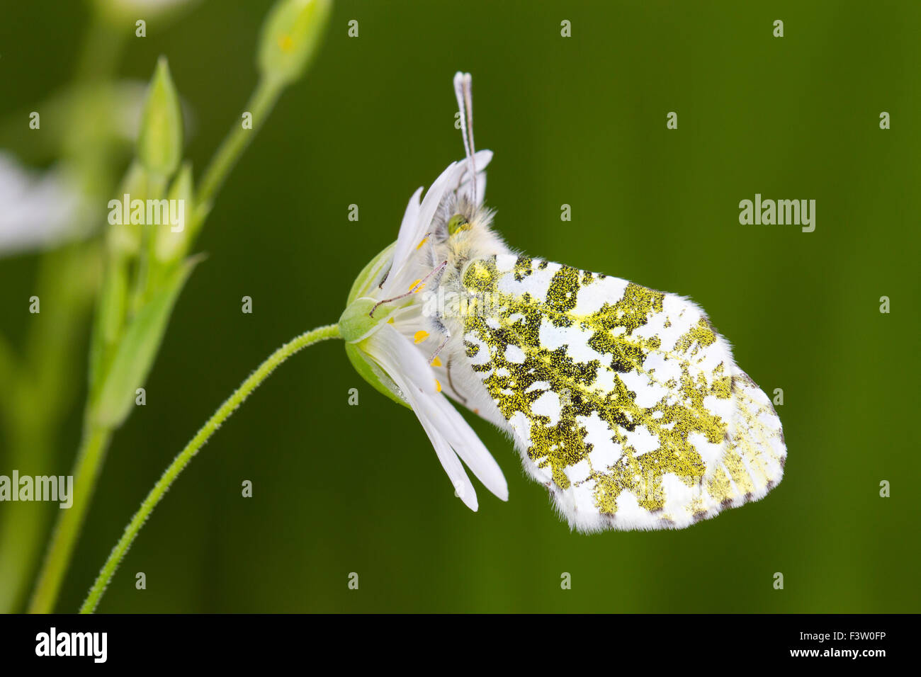 Orange-tip butterfly (Anthocharis cardamines) adult female roosting on a Greater Stitchwort (Stellaria holostea) Stock Photo