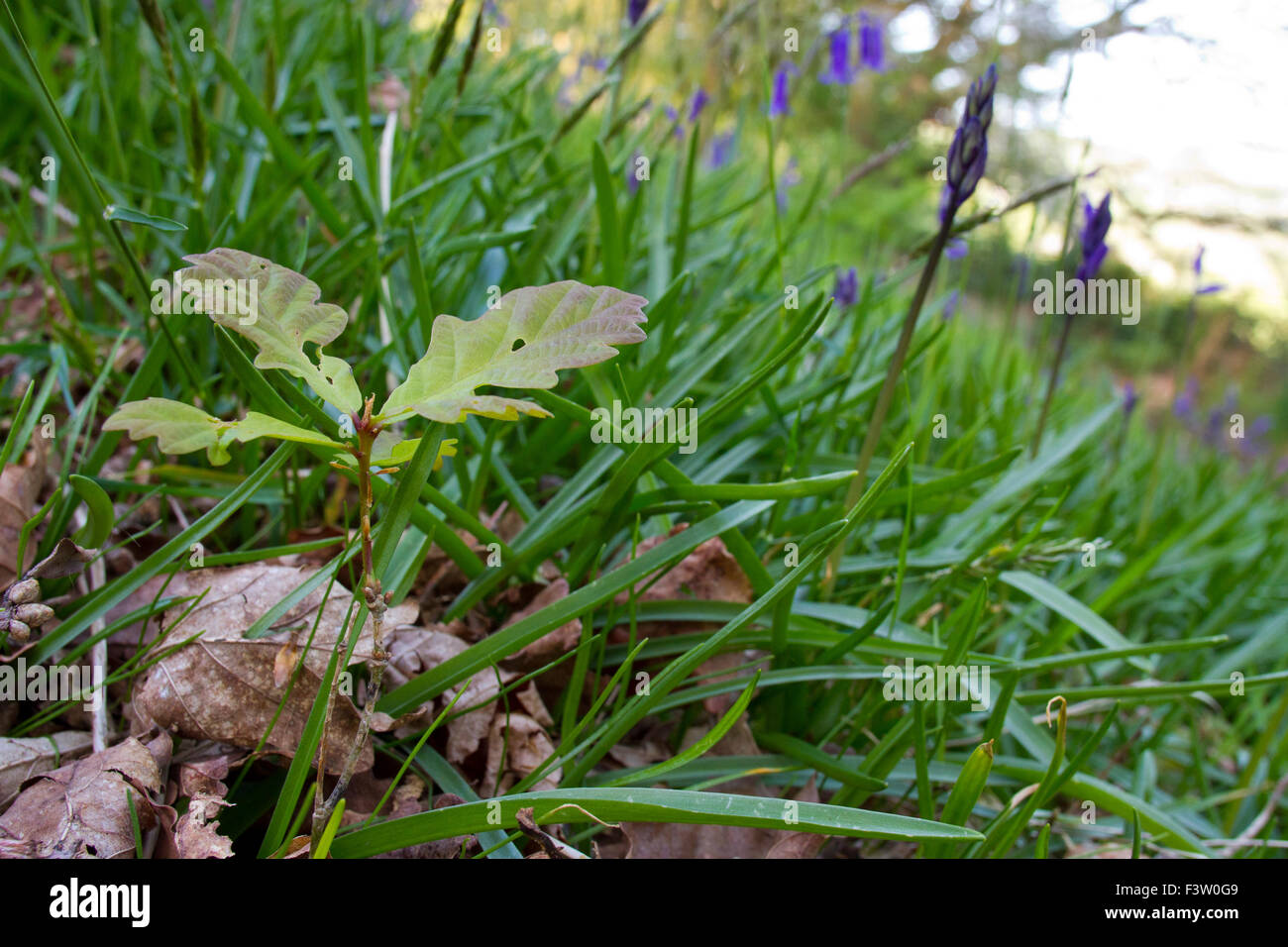 Sessile Oak (Quercus petraea) seedling growing amongst bluebells in woodland. Powys, Wales. May. - Stock Image