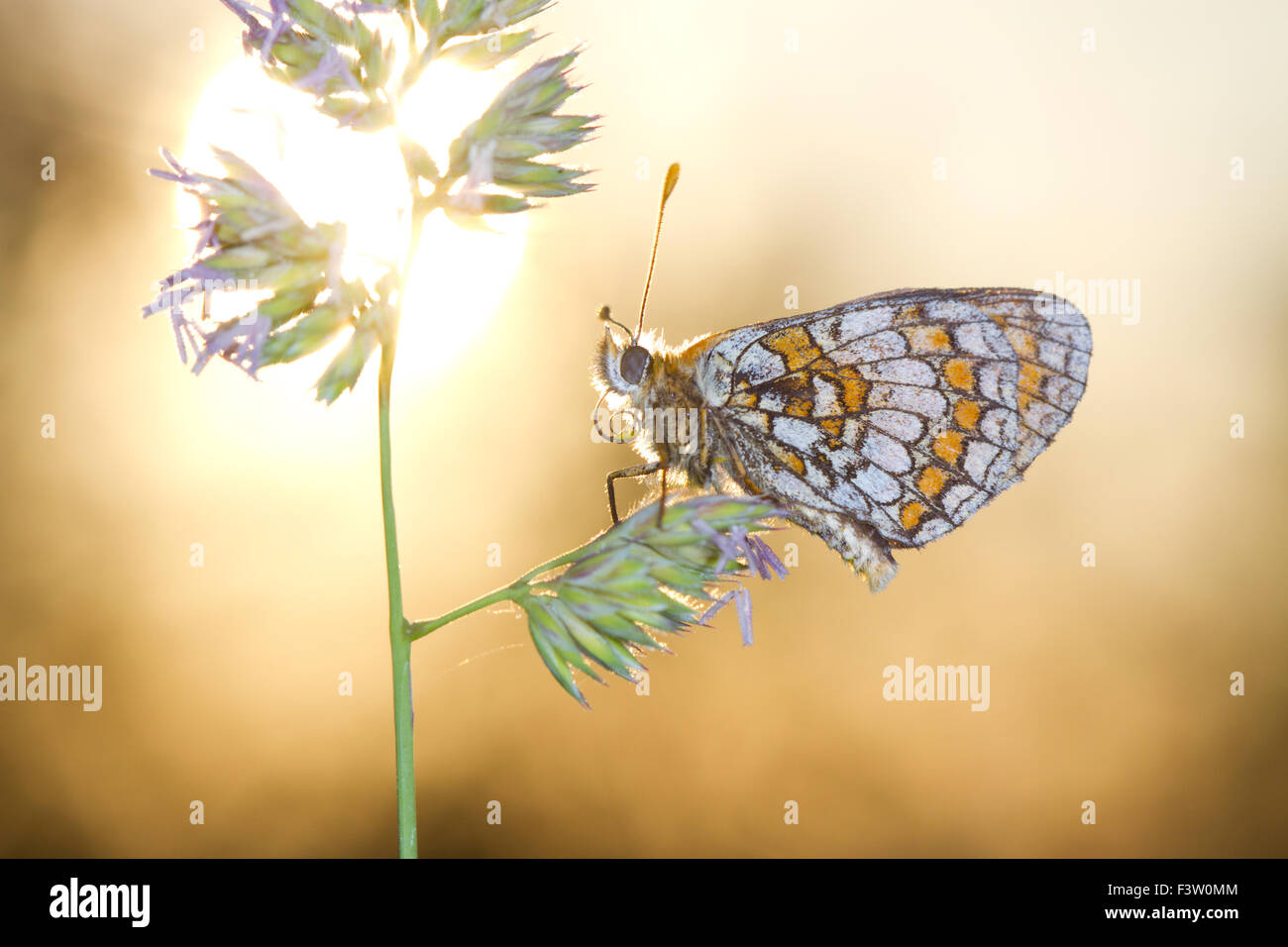 Heath Fritillary butterfly (Mellicta athalia) adult roosting at sunset. On the Causse de Gramat, Lot region, France. Stock Photo