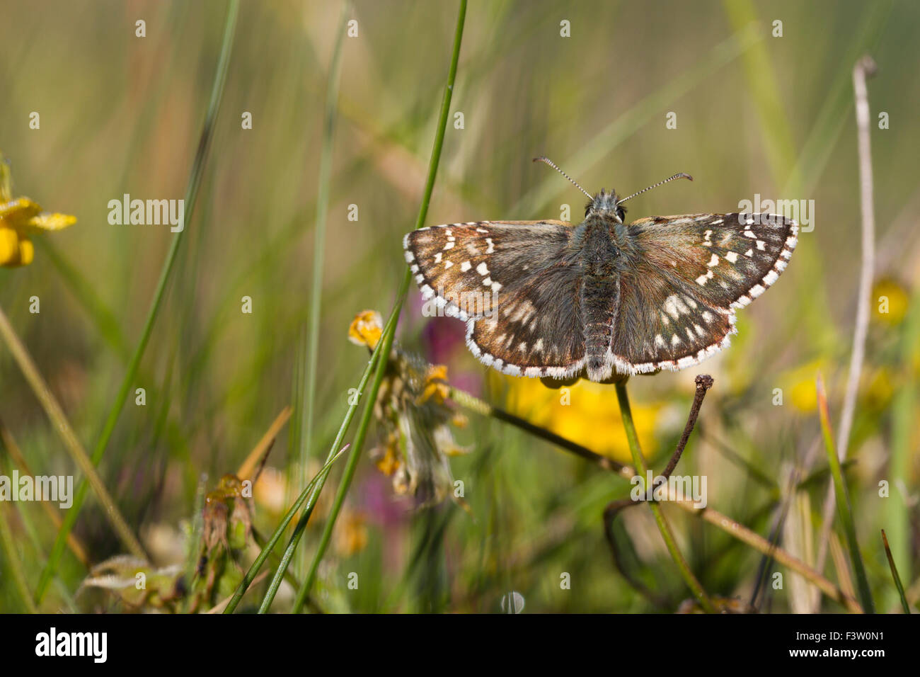 Safflower Skipper butterfly (Pyrgus carthami) adult basking in early morning sunshine. France. - Stock Image