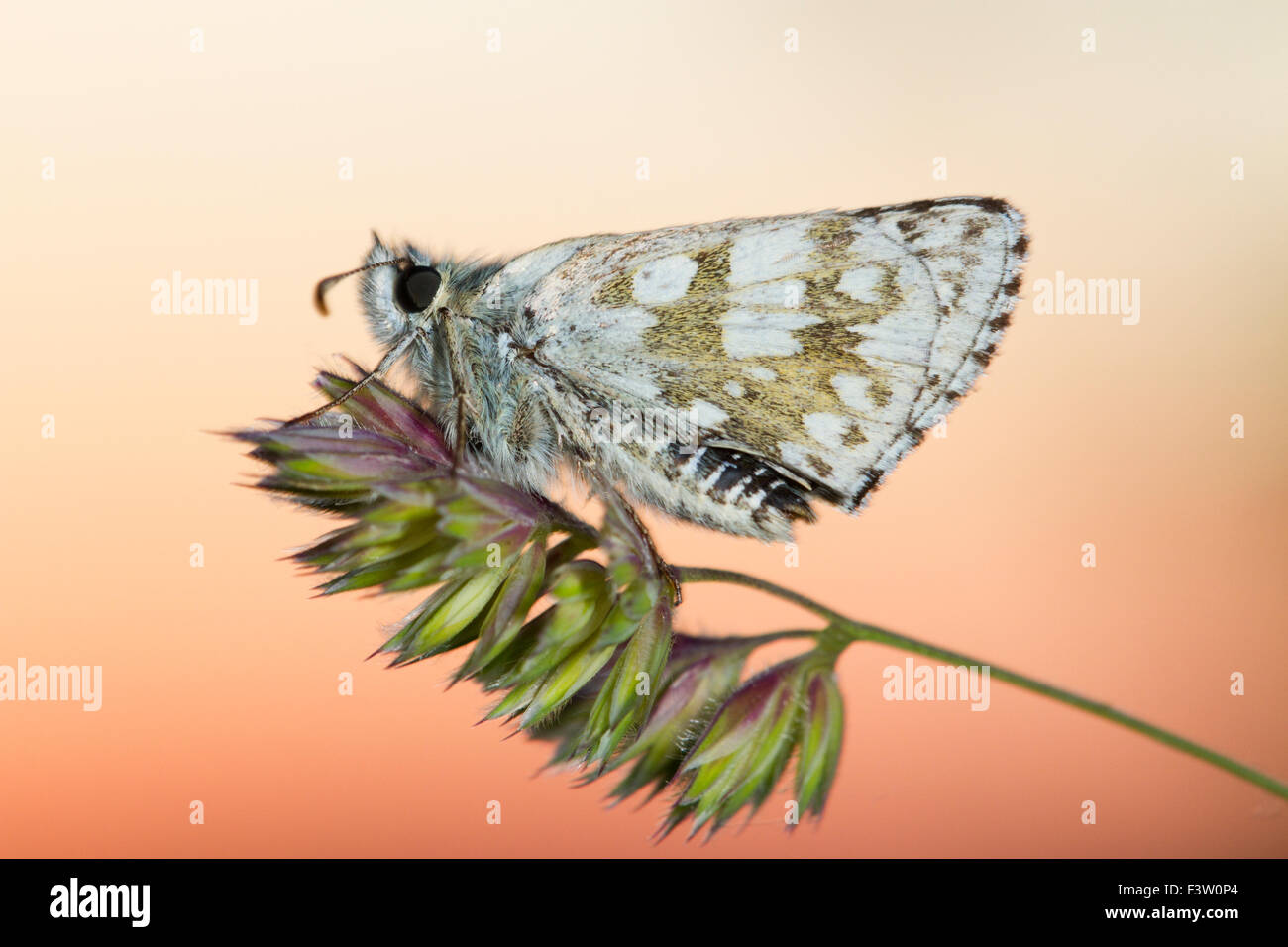 Safflower Skipper butterfly (Pyrgus carthami) adult roosting at sunset. Causse de Gramat, Lot region, France. May. - Stock Image