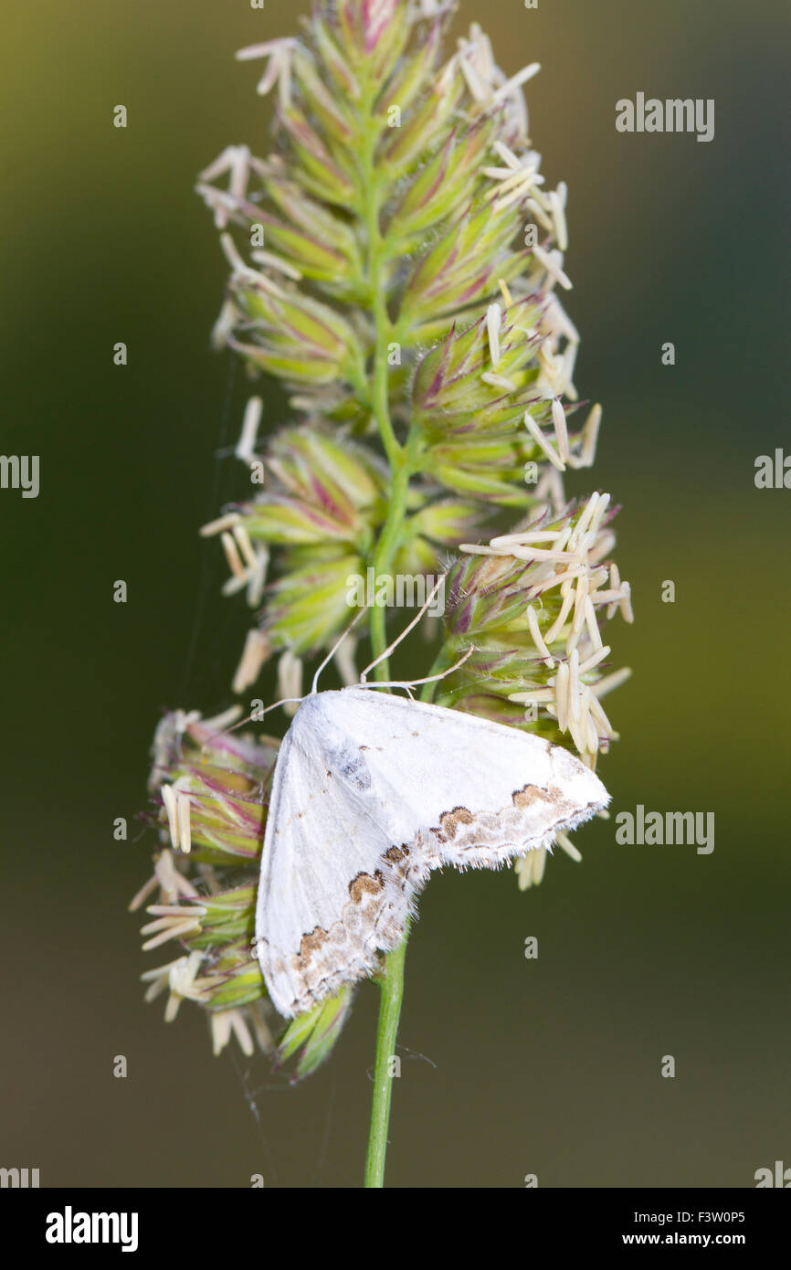 Lace Border (Scopula ornata) adult moth resting on a grass flower. On the Causse de Gramat, Lot region, France. - Stock Image